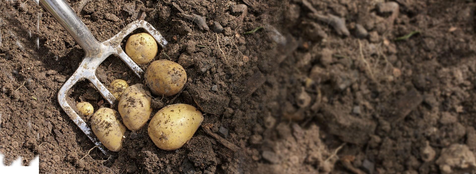récolte pommes de terres