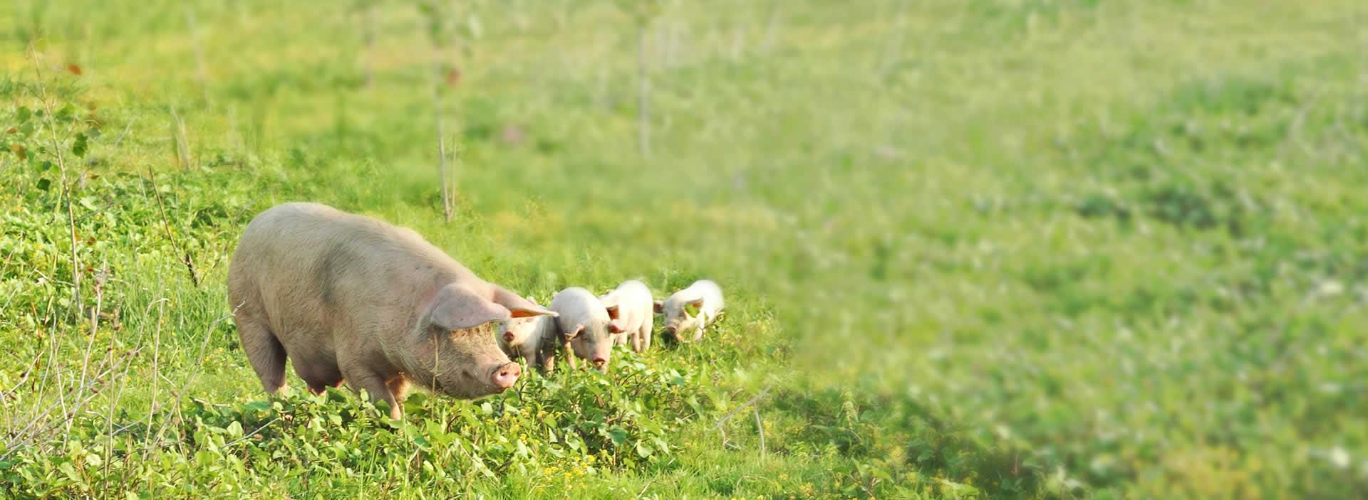 élevage porc bretagne